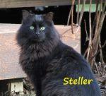 Steller the cat